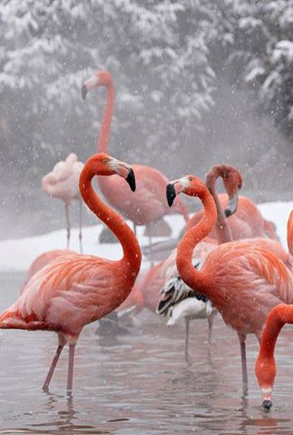 C  P  FLAMANTS  ROSES