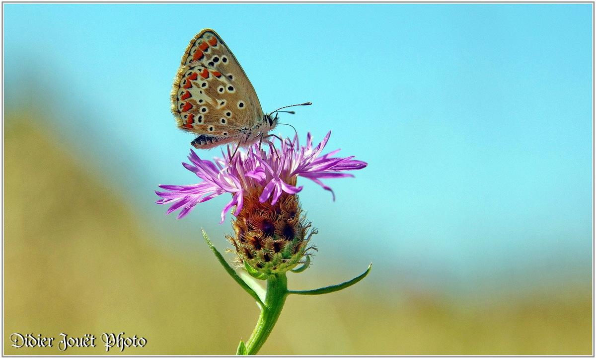 Azuré Commun (2) - Polyommatus icarus