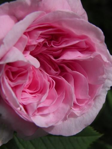 rosa Queen musk
