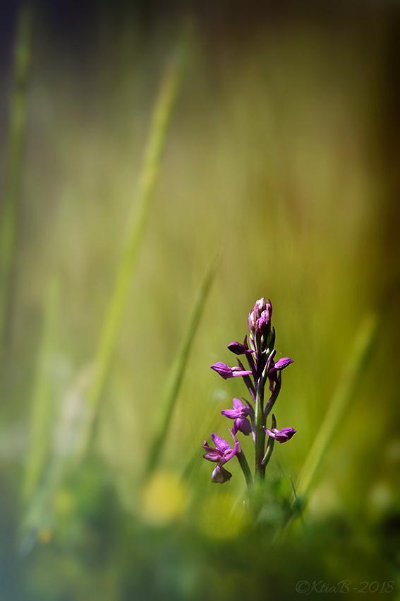 Orchis à fleurs lâches