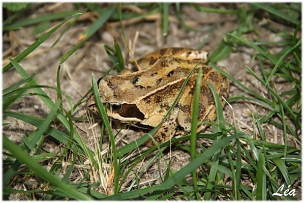 Batraciens-tritons-9294-grenouille-agile.jpg