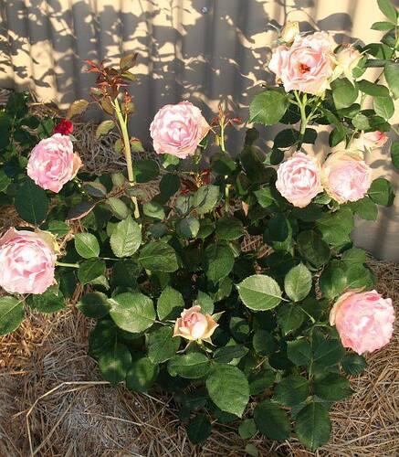 Les Roses de Warren : Morpheus