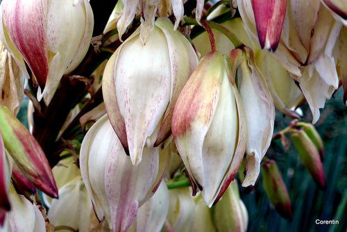 Les Yucca en fleur ...