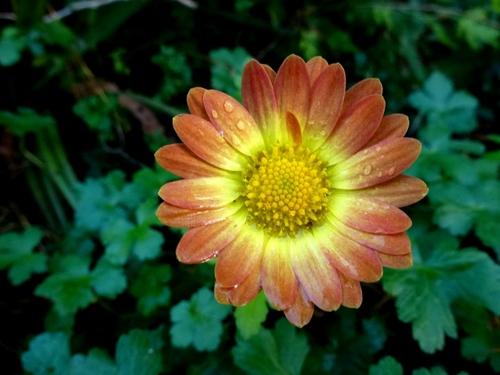 Chrysanthèmes rustiques