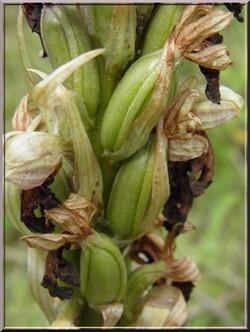 Orchis barlia robertiana