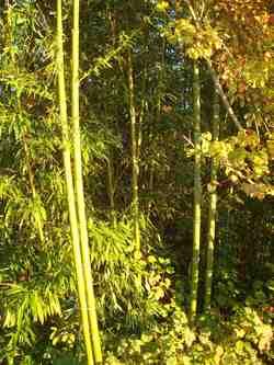 Autour du grand chêne blanc du Péage / commune d'Auriples-La Répara : bambous et cornouillers  le 1er novembre 2015 ;