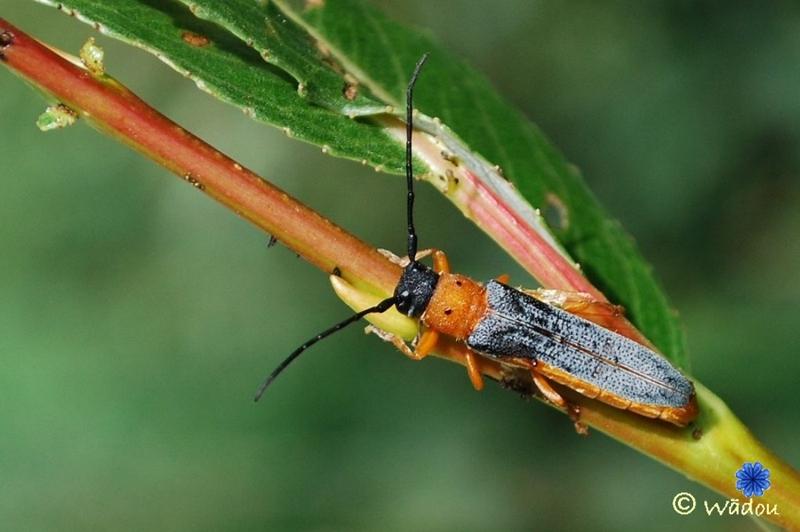Obérée ocellée (Oberea oculata) Cerambycidae