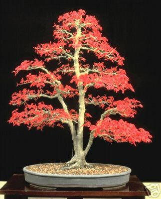 Bonsaïs arbre de vie