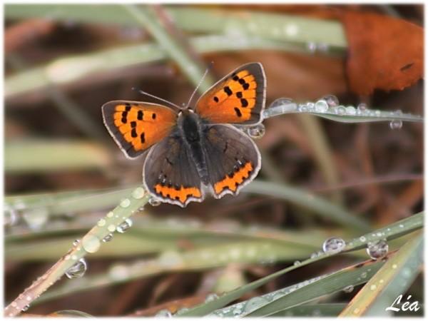 Papillons-4933-cuivre-commun.jpg