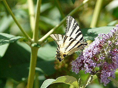 papillon valdrôme