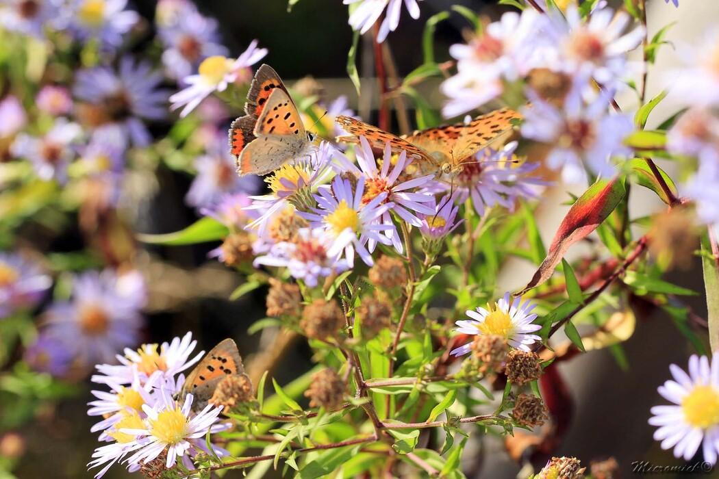 Papillon Cuivré commun