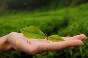 Le thé vert, brûle-graisse naturel