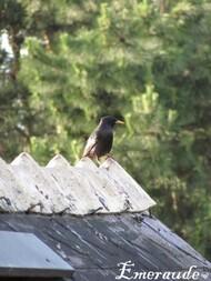 Photo Oiseaux, étourneau sansonnet - 22.05.11 - 03