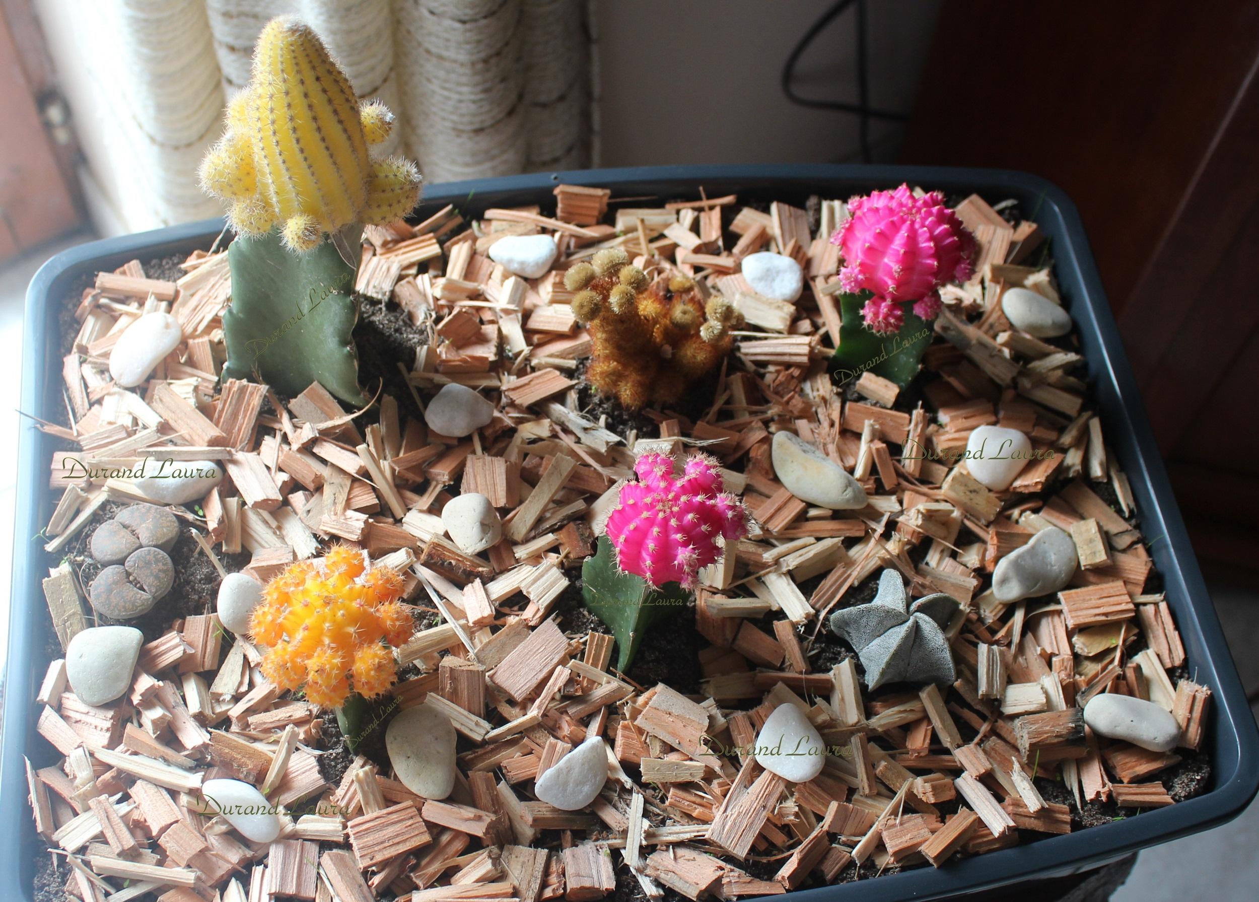 cactus greffés colorés - photos nature lydienaturegreen