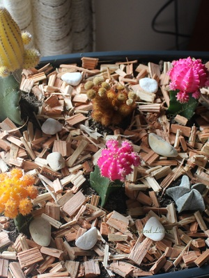 Assortiment cactus greffés colorés