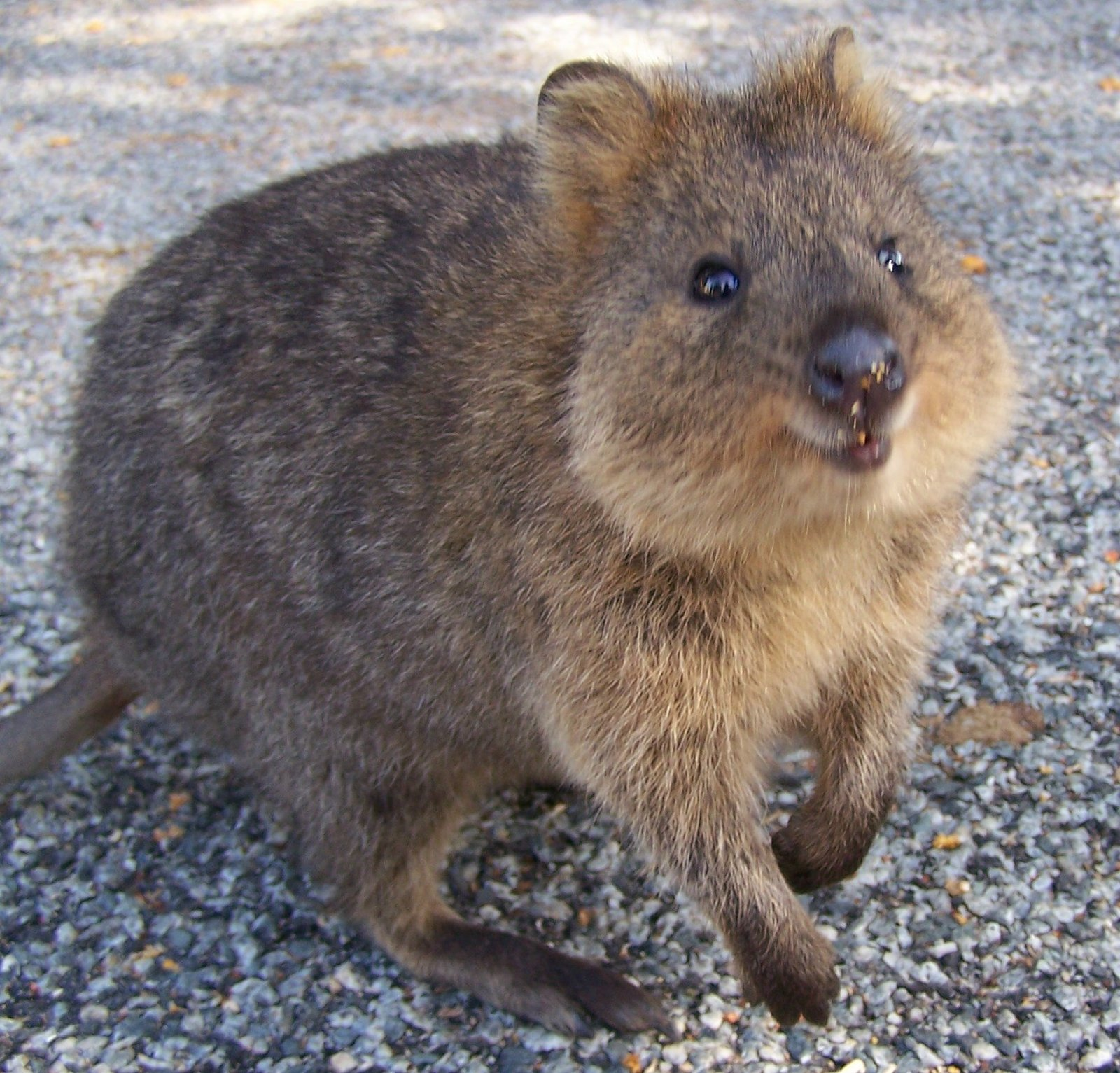 Baby quokka smiling - photo#21