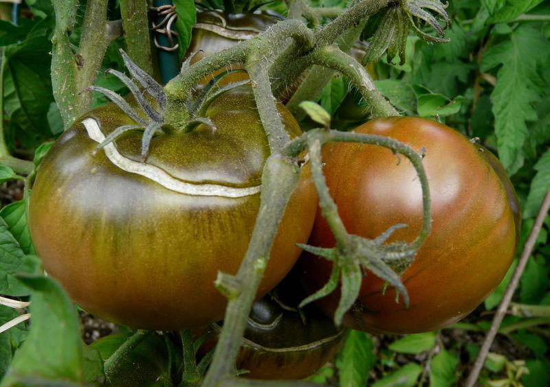 Les  tomates de mon micro-potager en 2014...