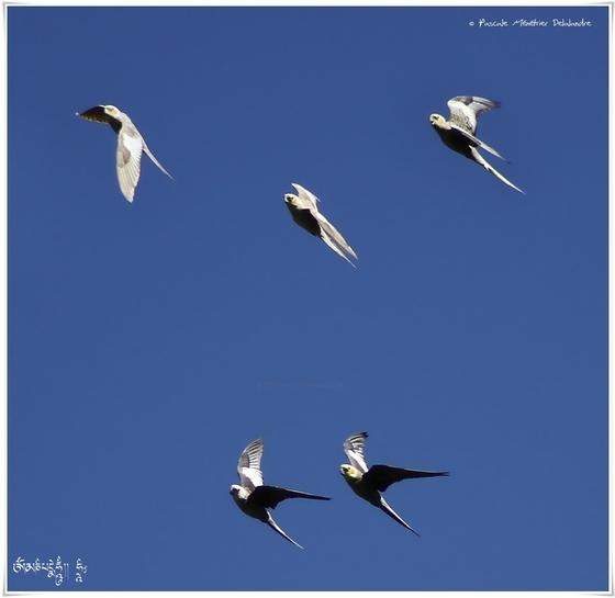 Perruches et colombes en vol