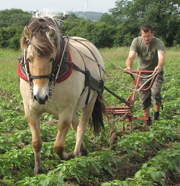 Le maraîcher bio travaille avec ses chevaux ...