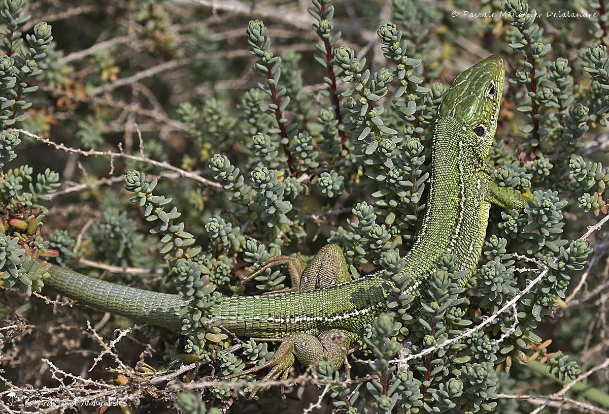 Lézard vert ♀ (Lacerta bilineata, anciennement Lacerta viridis)