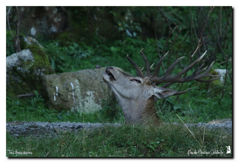 Cerf élaphe - Grosse fatigue à l'heure du bain