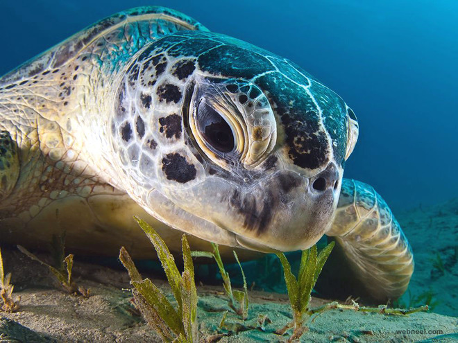green turtle egypt underwater photography