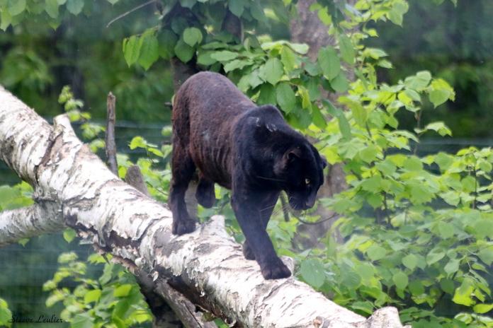 Panthère phénotype noir