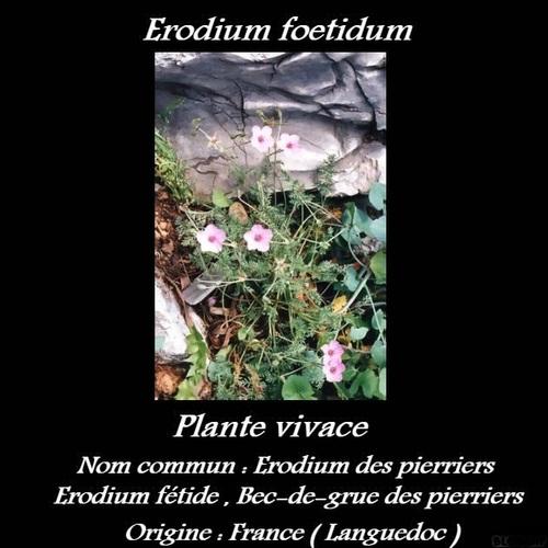Erodium foetidum
