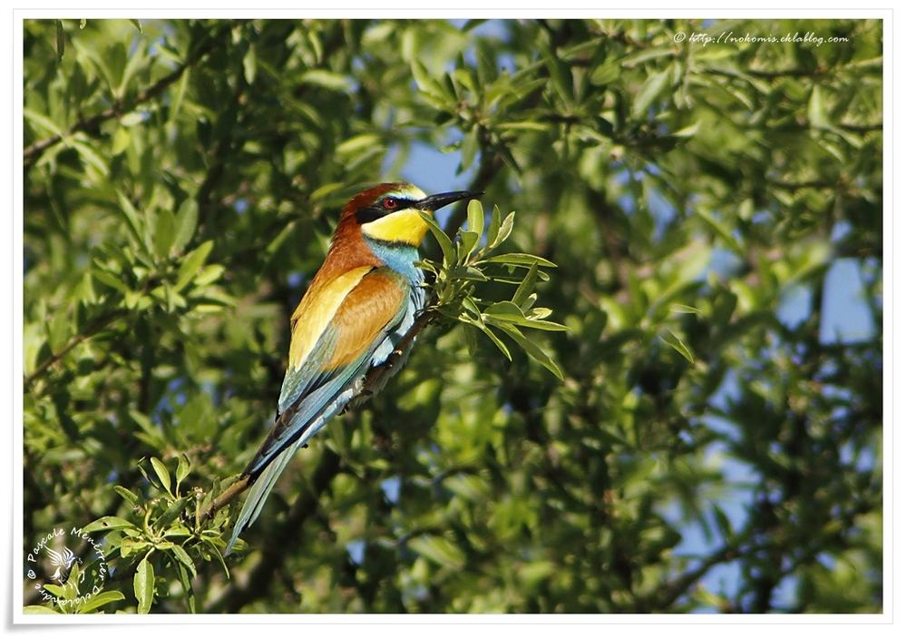 Guêpier d'Europe - Merops apiaster - European Bee-eater