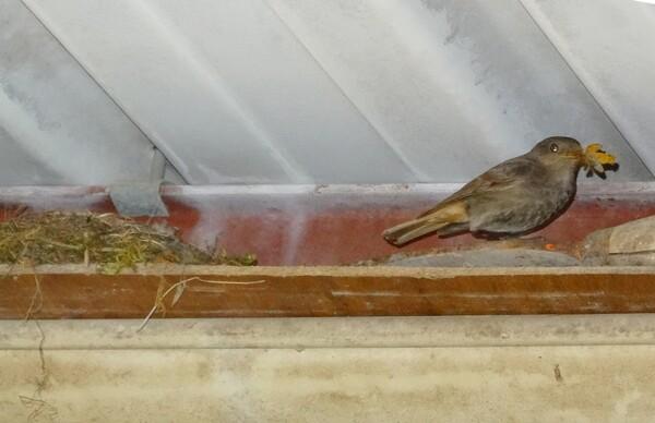 Un couple de rouge-queue a niché dans mon bûcher....