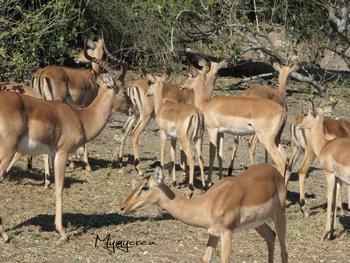 4 impalas