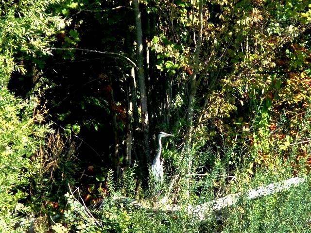 Un héron sur la Moselle 5 Marc de Metz 10 11 2012
