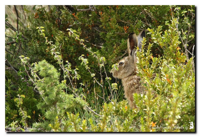 Couple de lièvre dans la garrigue Héraultaise