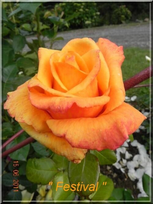 Roses Modernes