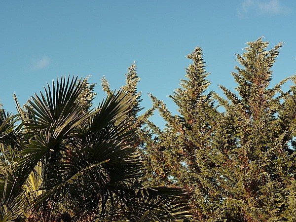 Palmier sapins le jour est leve
