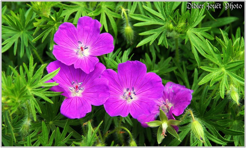 Géranium Sanguin / Geranium sanguineum