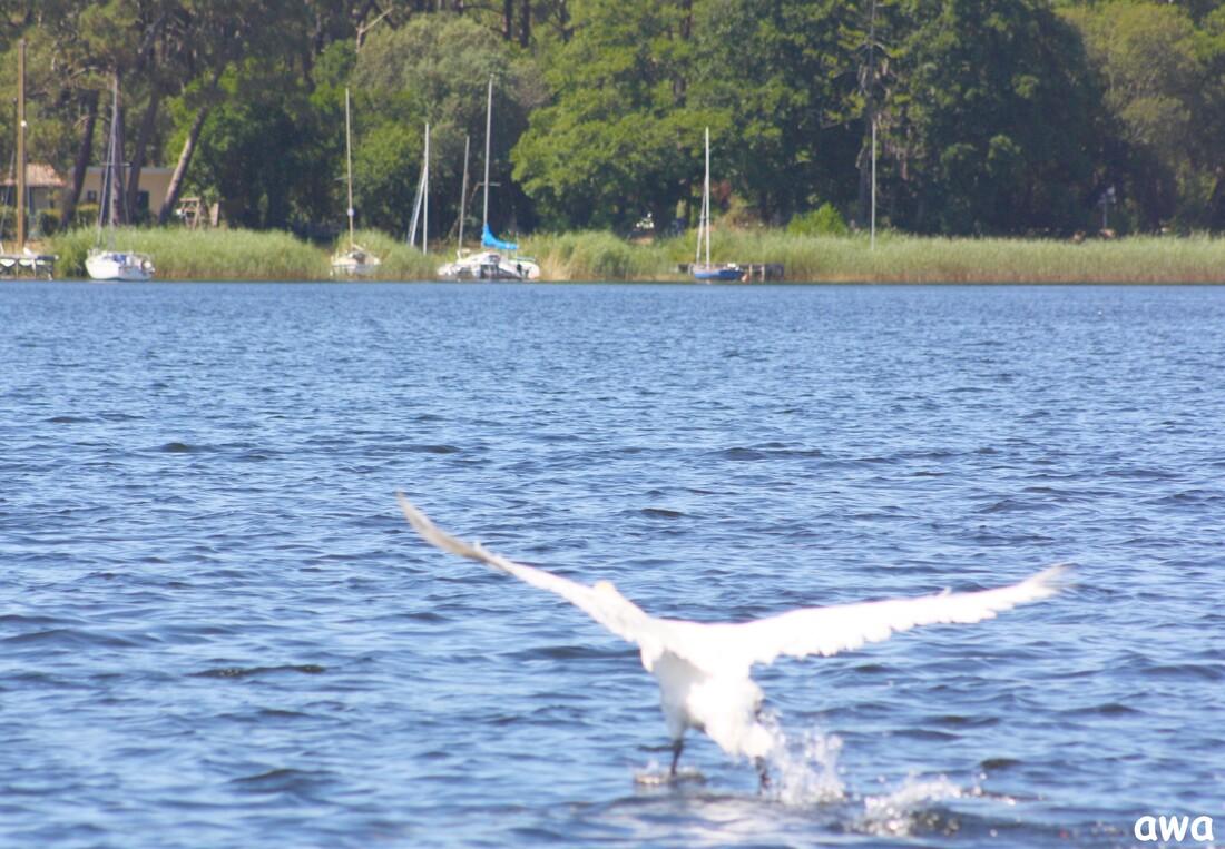 Le lac de Lacanau : LAC  DES  CYGNES  ...