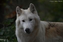 2013 (Loups du Gévaudan)