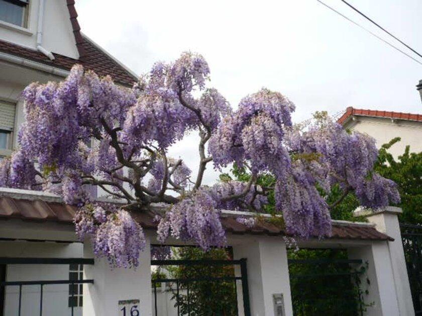 les petites fleurs du printemps au pavillon de mémé
