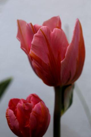 Tulipes 2018 : Pretty Princess