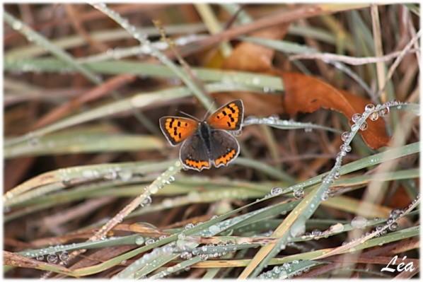 Papillons-4934-cuivre-commun.jpg