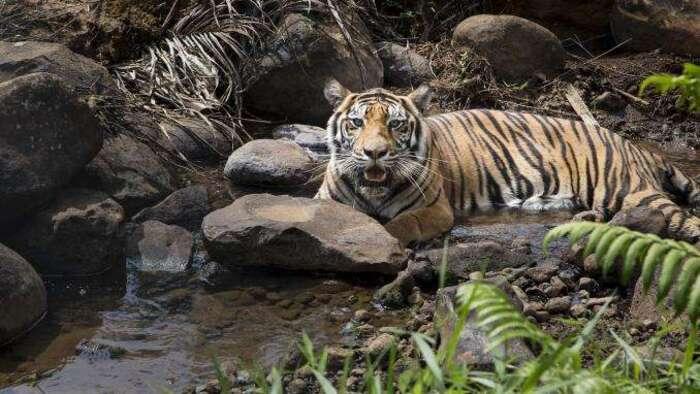 Indonésie : un homme tué par un tigre de Sumatra