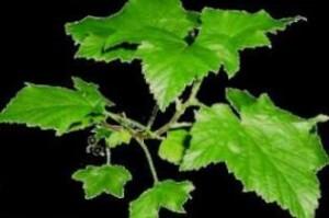 Activité anti-inflammatoire et action analgésique des feuilles de cassis