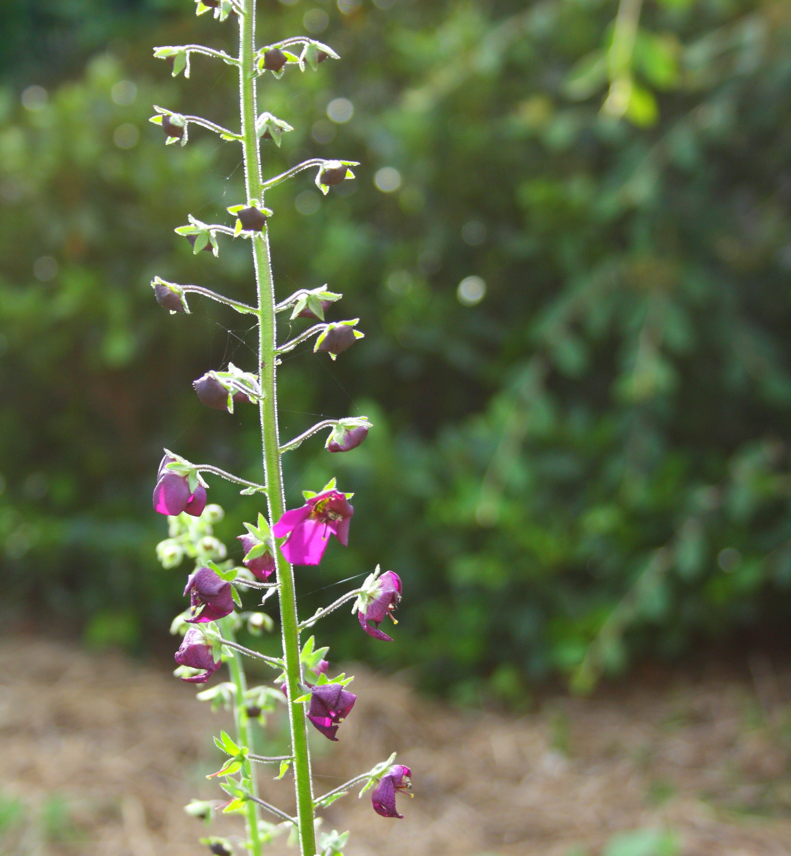 Verbascum phoenicum 'Violetta'