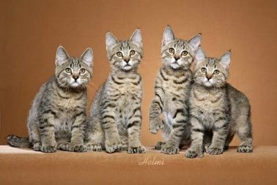 pixie-bob-cat-pictures-of-cats-s