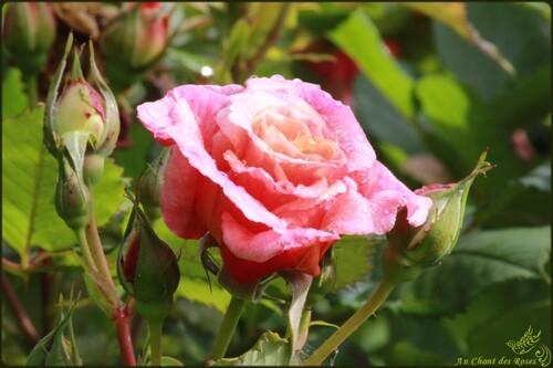 Vagabondage de roses en roses(2)