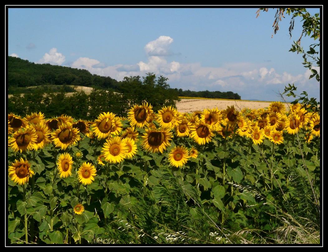 soleils d'été