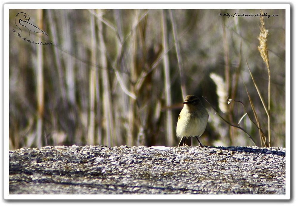 Pouillot fitis - Phylloscopus trochilus