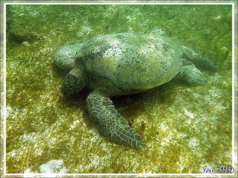 Tortue verte ou franche, Green turtle (Chelonia mydas) - Nosy Sakatia - Madagascar