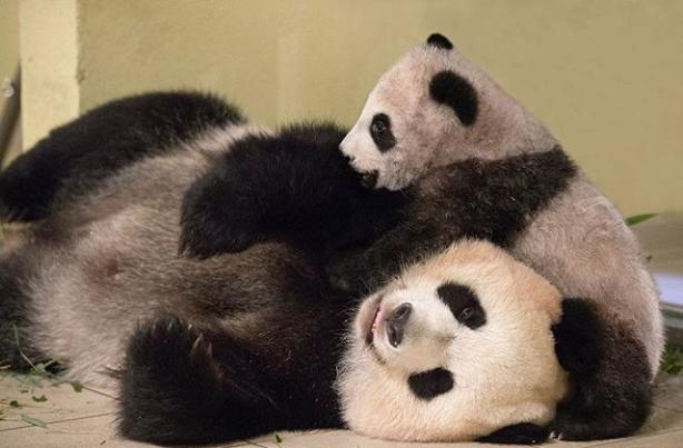 Bonjour....   avec bébé panda au zoo de Beauval